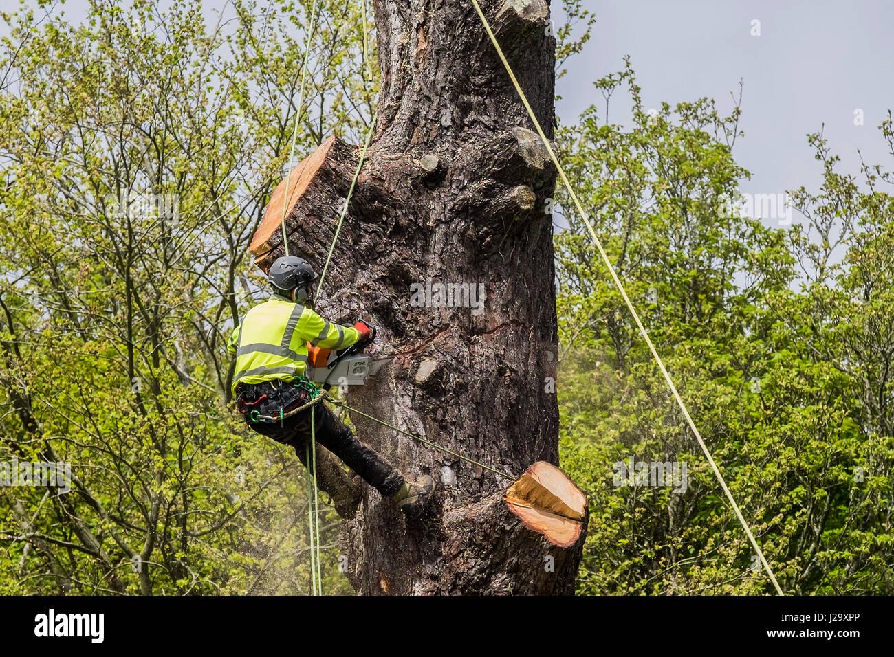 Tree Surgeon cutting down tree Arboricultura Arboriculturist ocupación peligrosa en altura utilizando una sierra Imagen De Stock