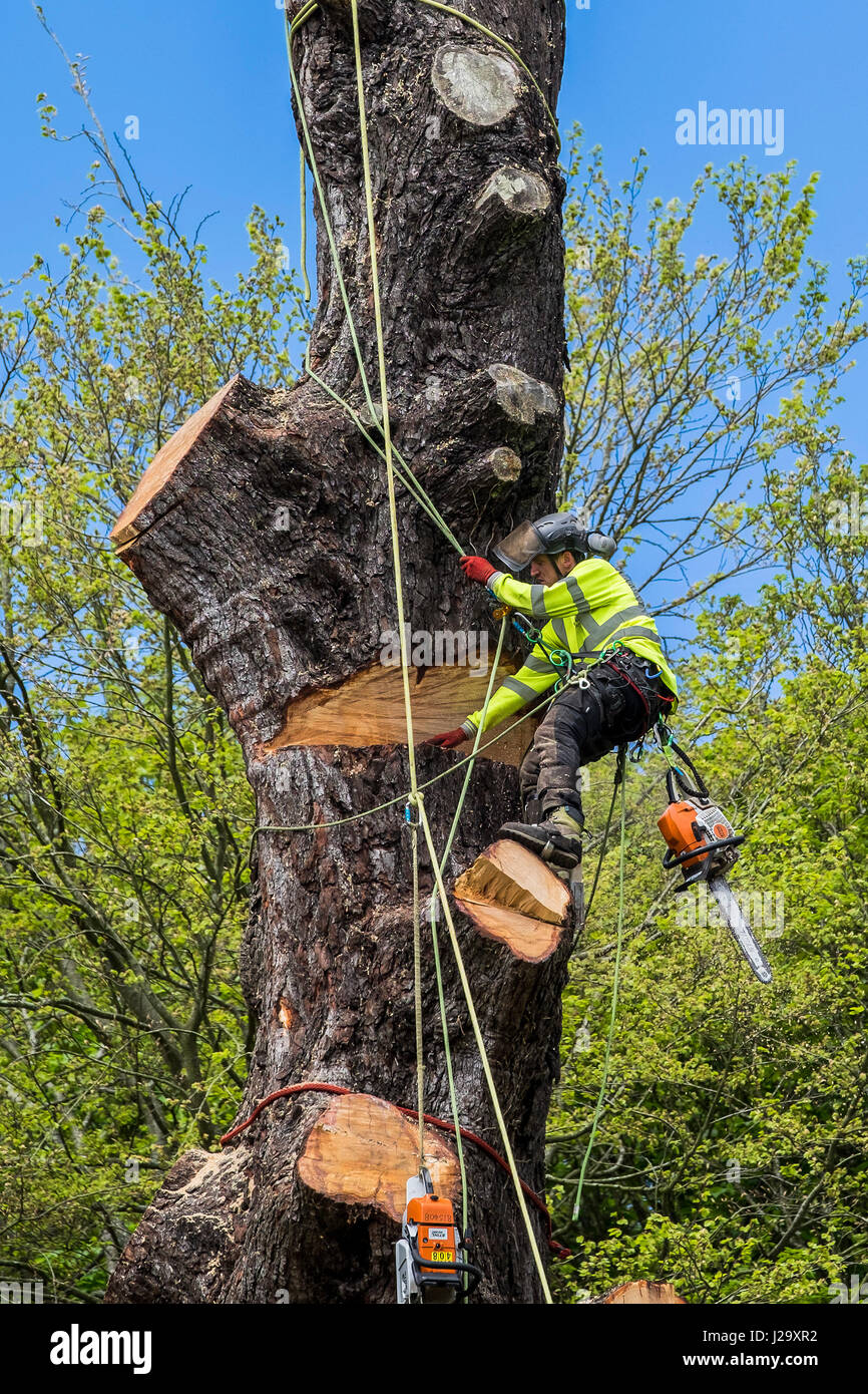 Tree Surgeon Arborist Arboricultura experto ocupación peligrosa Tala de árbol con sierra de cadena de Imagen De Stock