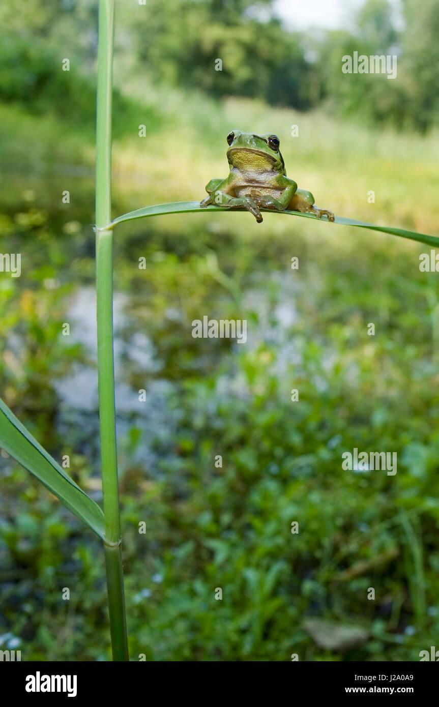 Amplio ángulo de tiro de una rana de árbol europeo, descansando sobre una brizna de hierba en su hábitat Imagen De Stock