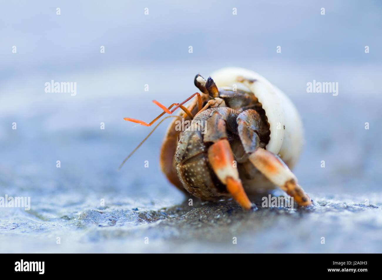 Macro Fotografía de un cangrejo ermitaño terrestre en la playa de Borneo, Sarawak Imagen De Stock