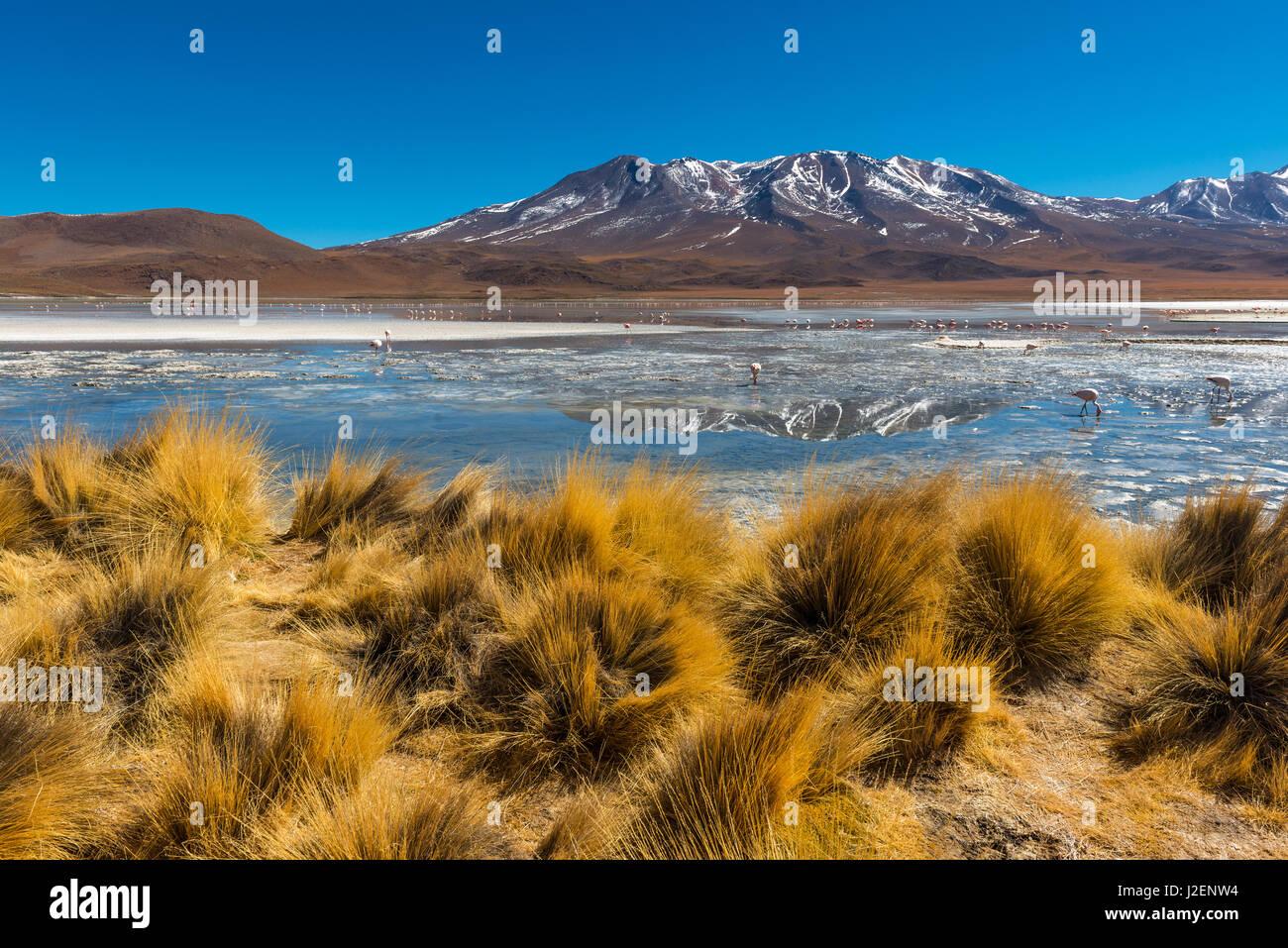 Andes de pasto y un lago a gran altitud con andes y flamencos chilenos en la cordillera de Los Andes de Bolivia Imagen De Stock