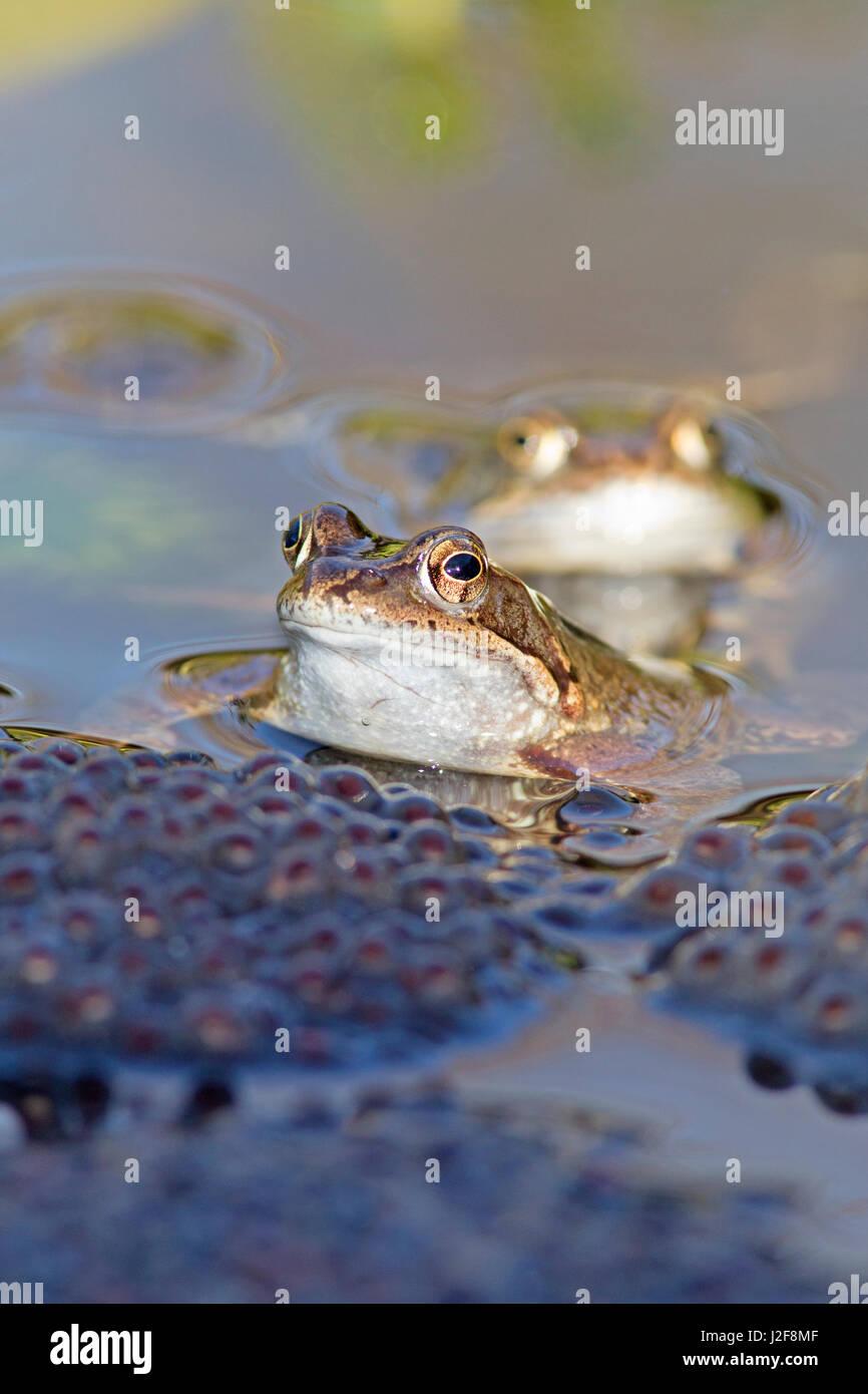 Las ranas comunes entre rana durante el apareamiento de Spawn Imagen De Stock