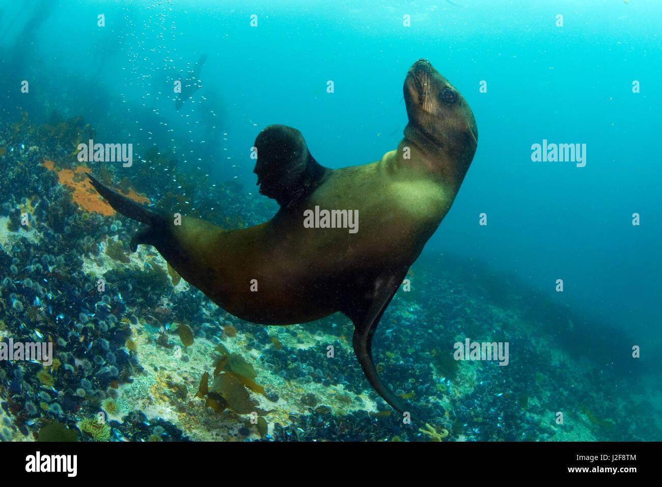Cape (Arctocephalus pusillus) bajo el agua. Imagen De Stock