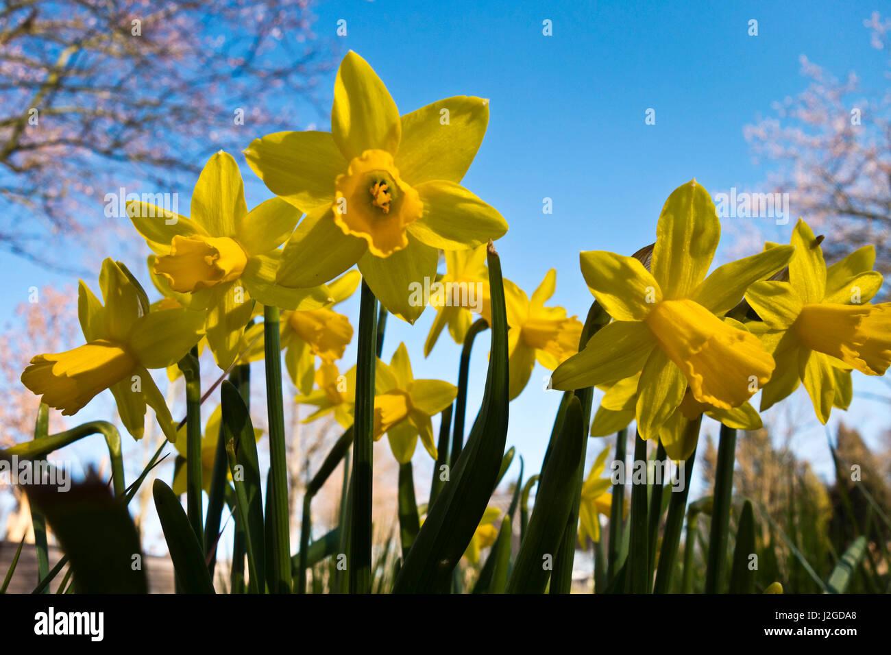 Narcisos Amarillos Flores En Un Jardin Foto Imagen De Stock - Narcisos-amarillos
