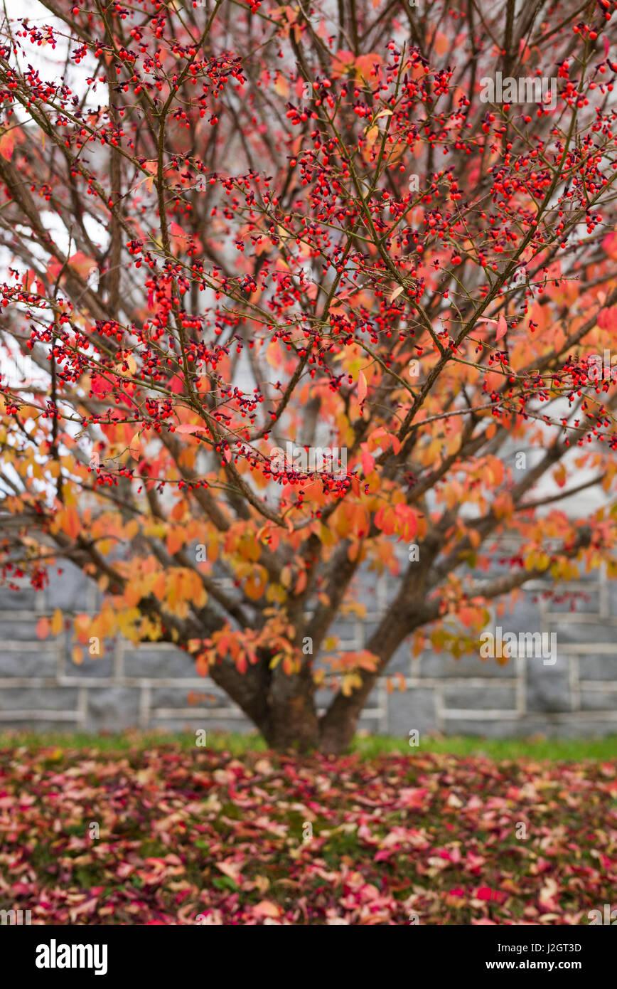 Ee.Uu., New Hampshire, Enfield, arbusto rojo, caída Foto de stock