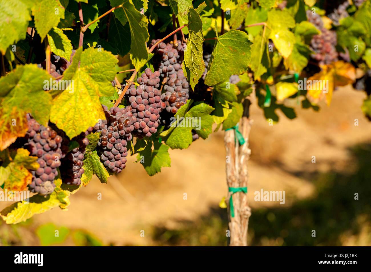 Ee.Uu., Estado de Washington, Ciudad Real. La uva Pinot Gris en Lawrence viñedos que se encuentra en el Royal Imagen De Stock