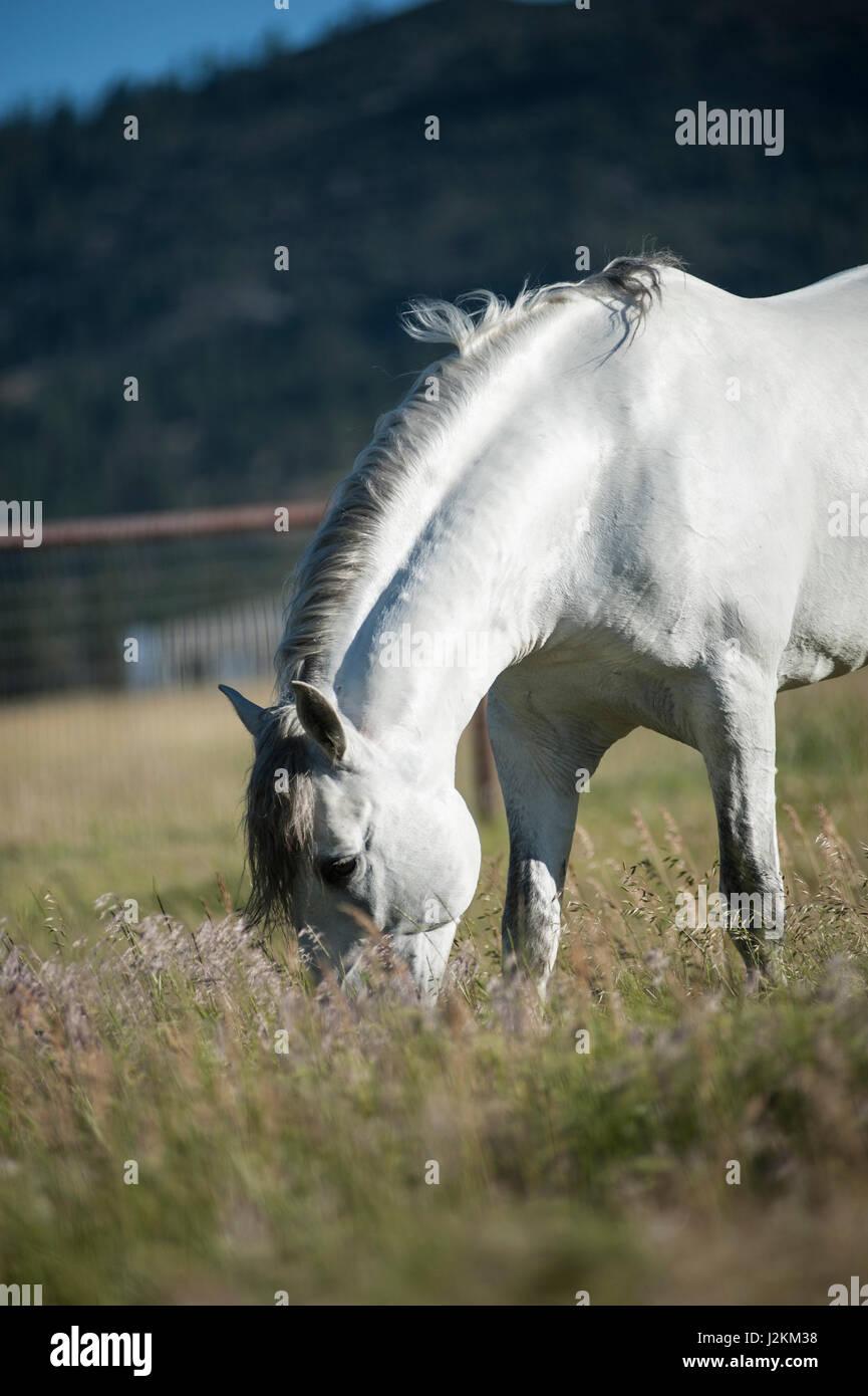Semental blanco andaluz en verdes praderas Imagen De Stock
