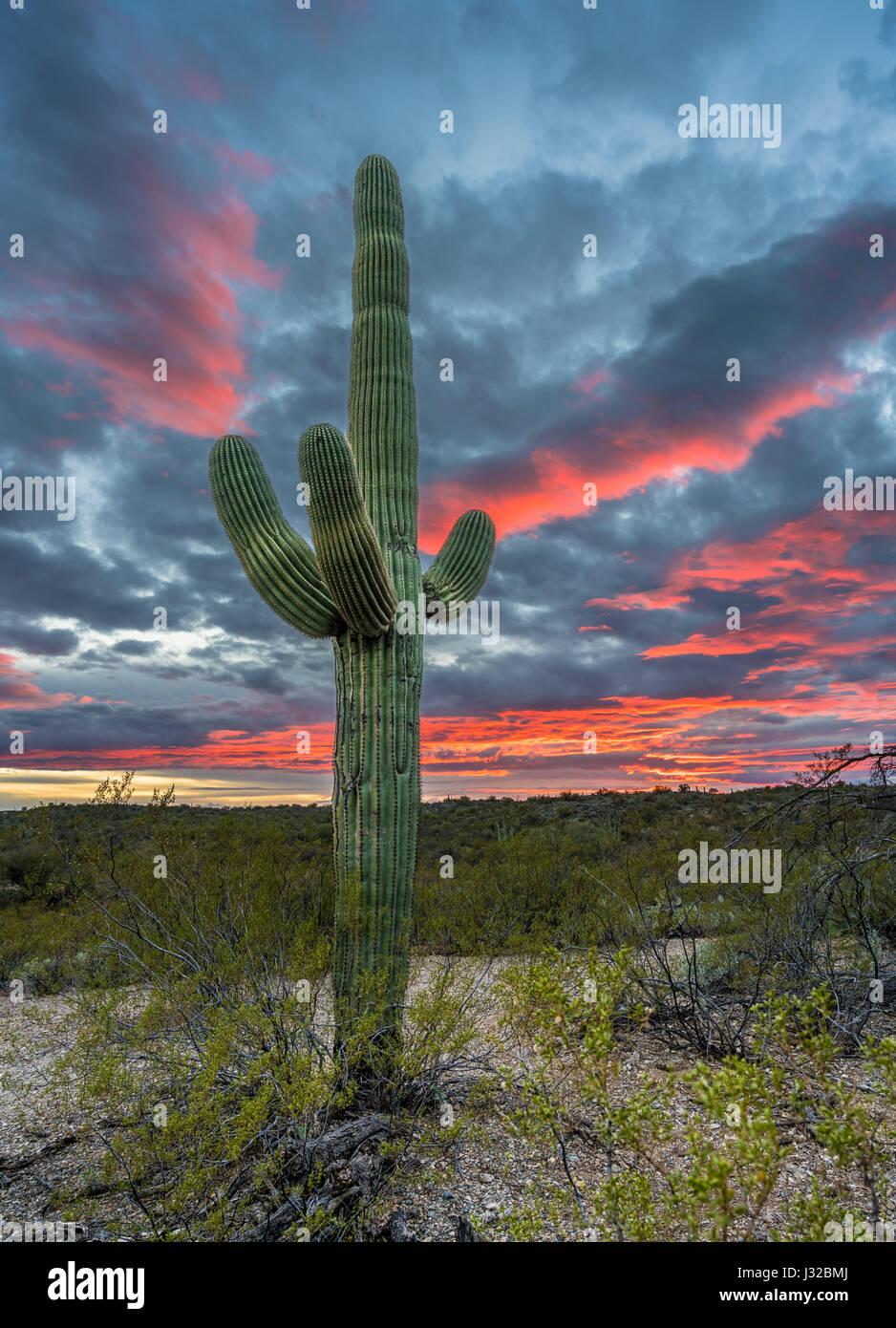 Cacto Saguaro en la puesta de sol, el Bosque Nacional de Coronado, montañas Santa Catalina, desierto de Tucson, Imagen De Stock