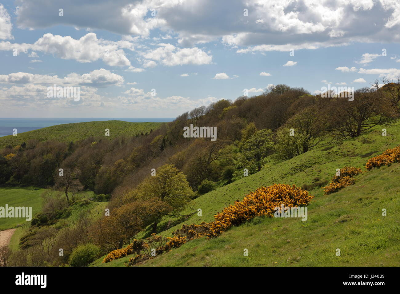 Naranja brillante primavera retamas y amplio paisaje fresco sudoeste hacia la cabeza Swyre Dorset UK Foto de stock