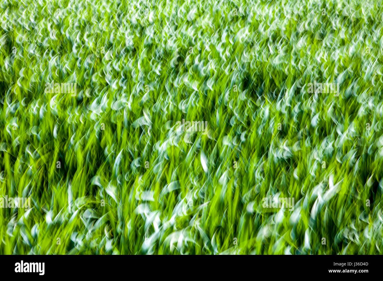 Líneas abstractas y estructuras en el pasto verde, primer plano, con un efecto barrido borrosa Foto de stock
