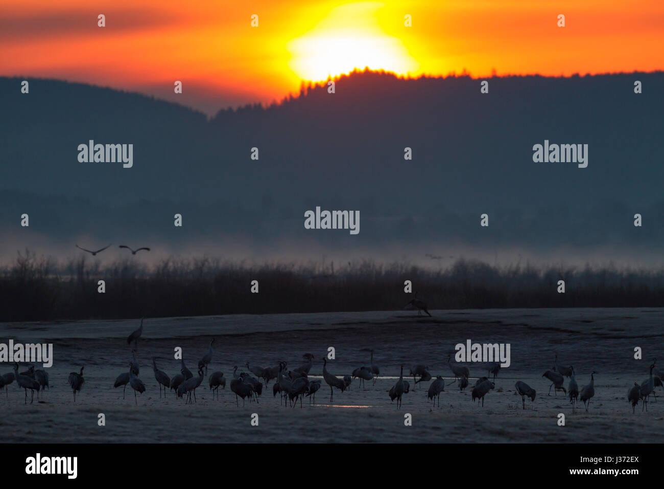 Grulla común / Grullas comunes (Grus grus) Grey fying al amanecer para descansar en el lago Hornborga / Hornborgasjön en primavera, Västergötland, Suecia Foto de stock