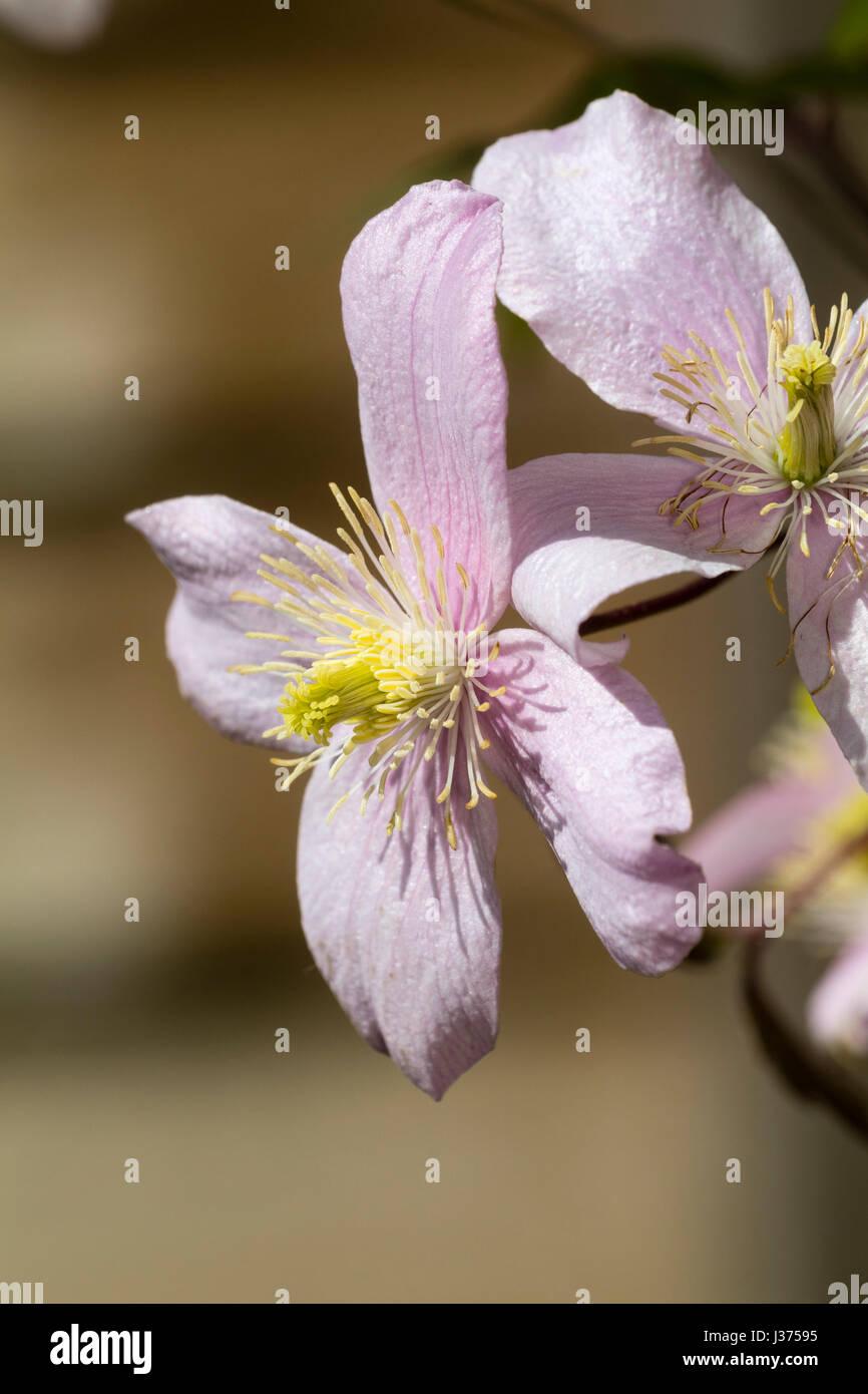 Las flores de la primavera rosa pálido de la forma seleccionada de la trepadora de caducifolios, clemátide Imagen De Stock