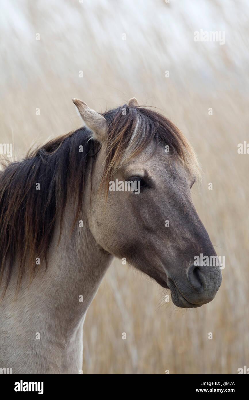 Konik Pony, retrato de un solo adulto en reedbed, Minsmere, Suffolk, Reino Unido Imagen De Stock