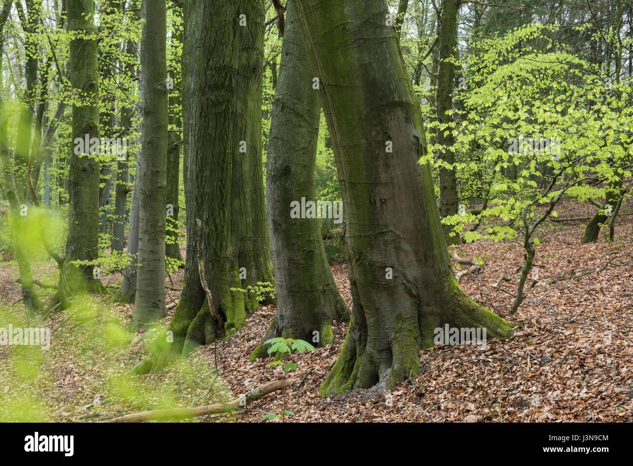 Buchenwald, Dammer Berge, Landkreis Vechta, Oldenburger Muensterland, Niedersachsen, Deutschland Foto de stock