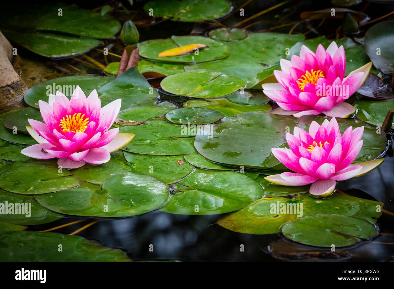 Nymphaeaceae es una familia de plantas en floración. Los miembros de esta familia son comúnmente llamados lirios Foto de stock