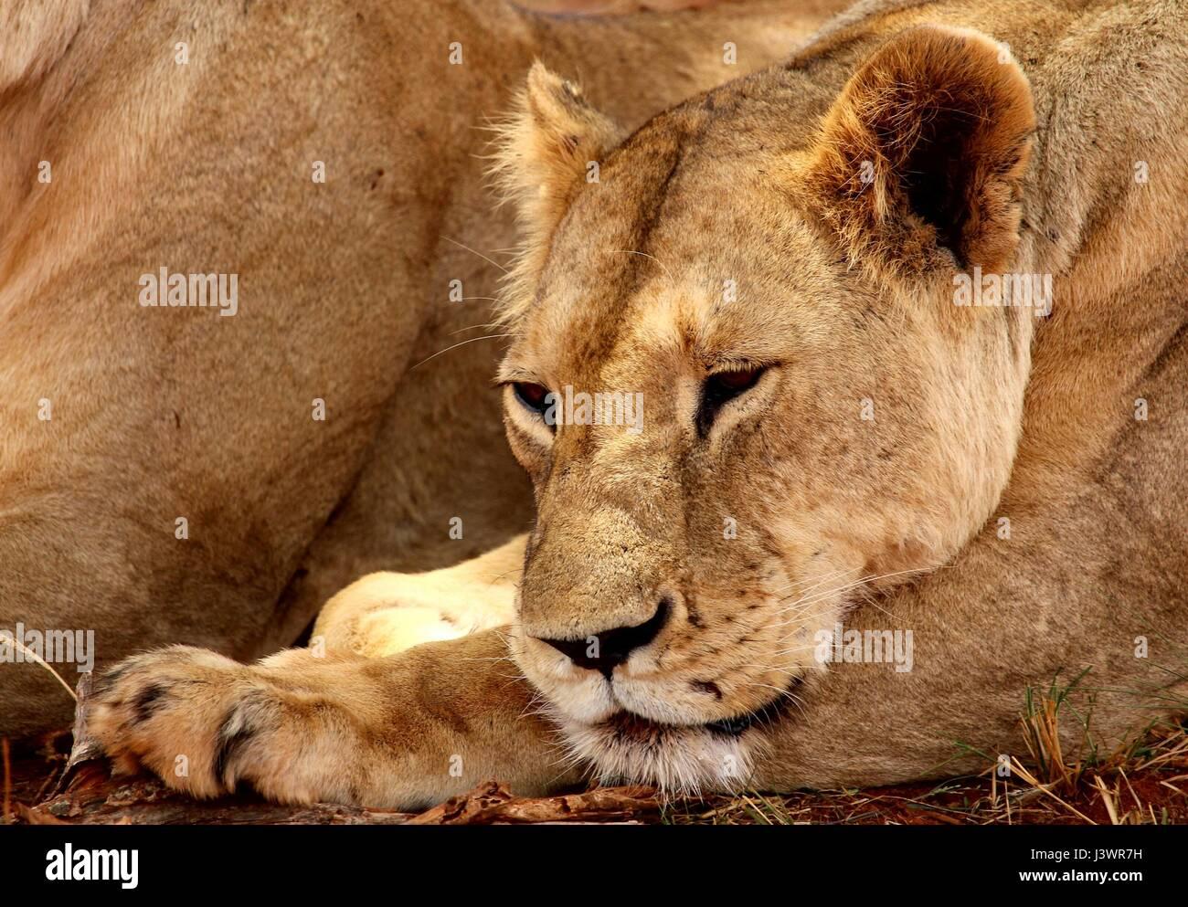 León femenino, por el que se establecen para dormirse Imagen De Stock