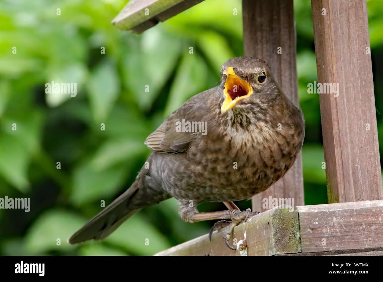 Pájaro de la canción Foto de stock