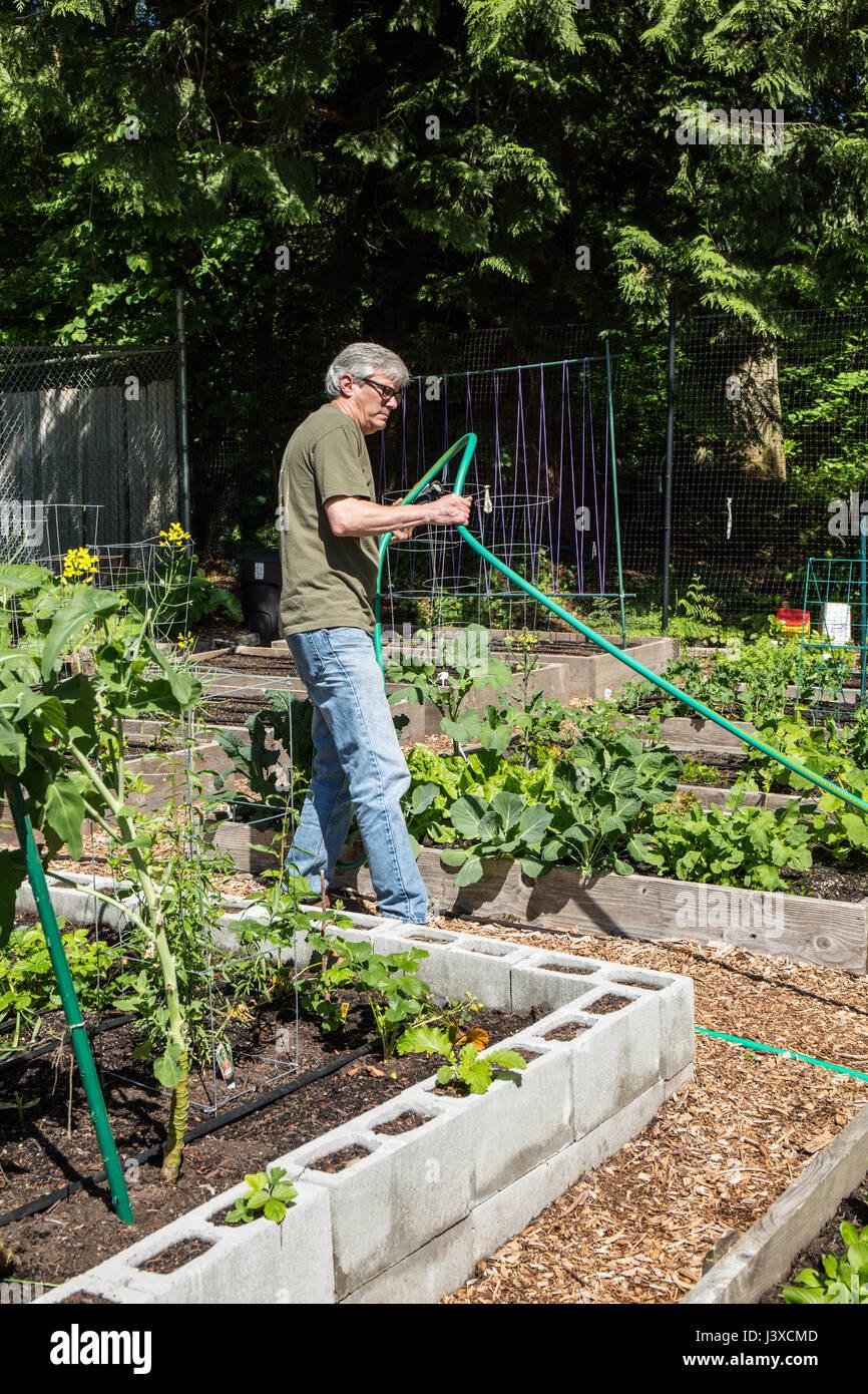 Hombre de tirón en la manguera de jardín en un jardín comunitario en Issaquah, Washington, EE.UU. Imagen De Stock