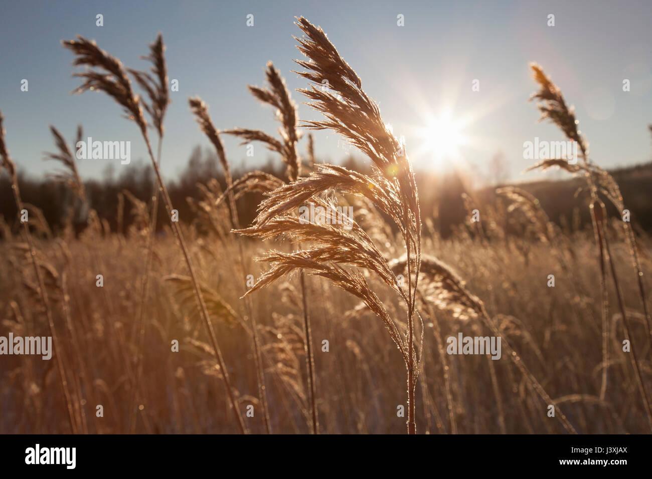 Paisaje iluminado de Marsh con common reed (Phragmites australis). Imagen De Stock