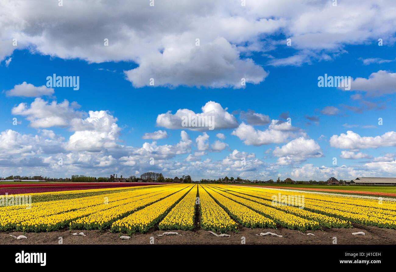 Un hermoso campo de tulipanes en un nublado cielo azul en los Países Bajos Imagen De Stock