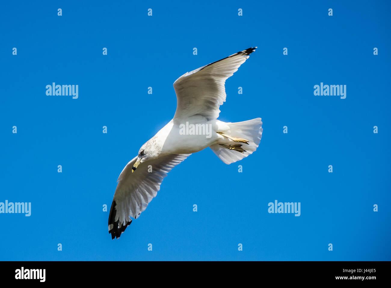 Deslizamiento De Palomas Volando En Frente De Cielo Azul Profundo
