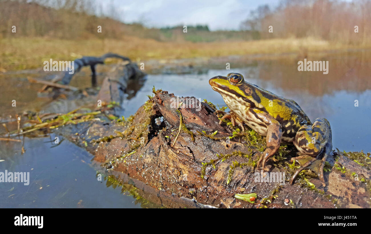 Ranas comestibles en su hábitat Imagen De Stock