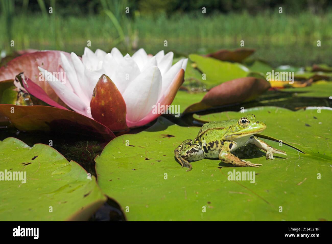 Foto de una rana comestible sentado en una hoja de blanco europeo waterlilly con una flor en el fondo Imagen De Stock