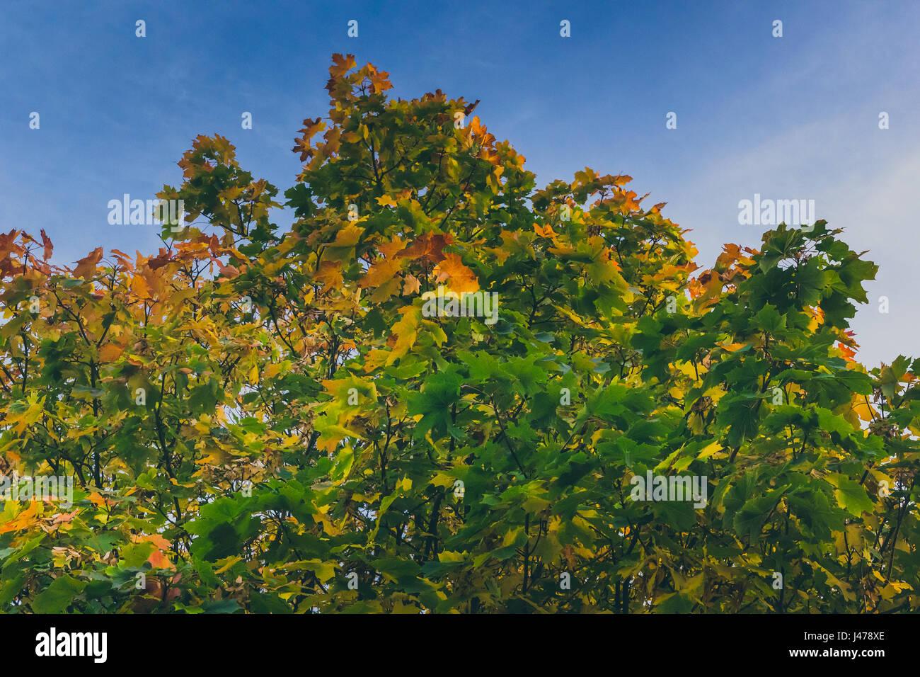 Un árbol de arce con denso follaje verde con parches de hojas doradas que muestra la aparición de cataratas ubicado en tollymore park en Newcastle UK Foto de stock