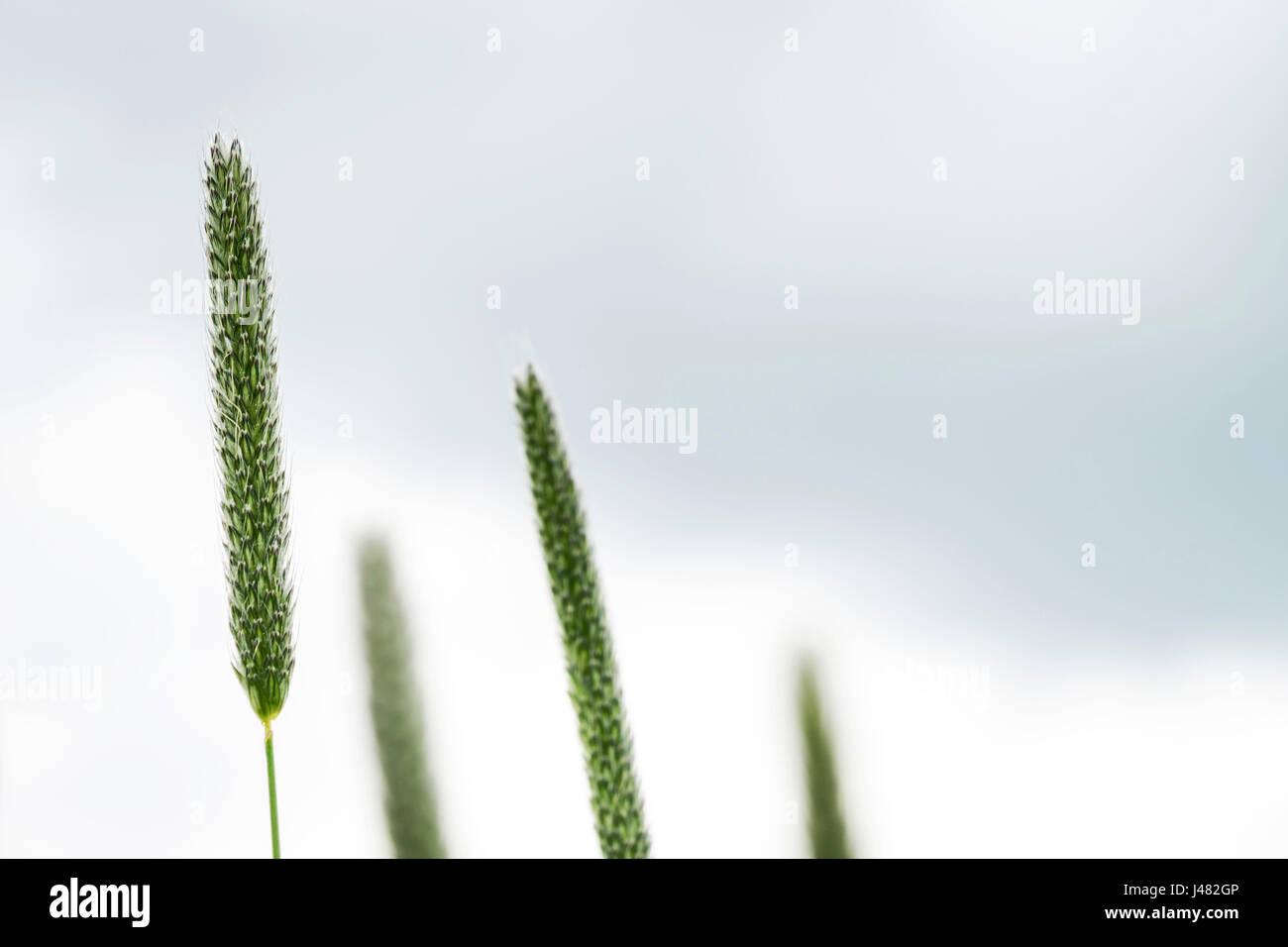 Fine Art La fotografía macro: Cierre de cuatro hojas de hierba con sus juncos, frente a casi el fondo blanco. Foto de stock