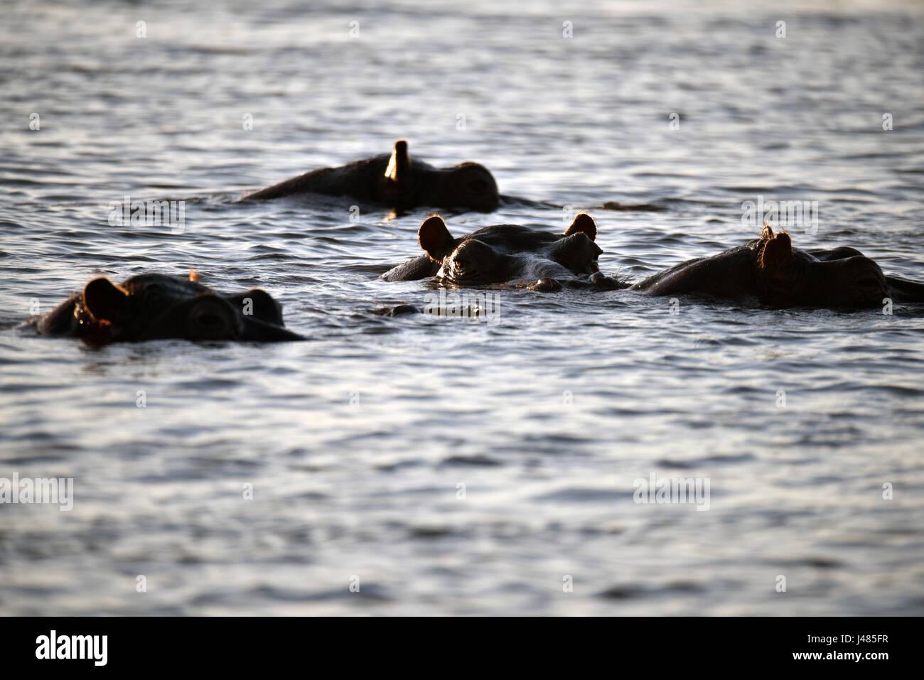 Durante el día, hipopótamos permanecen mayormente sumergidos en agua, acaba de levantar la parte superior Imagen De Stock