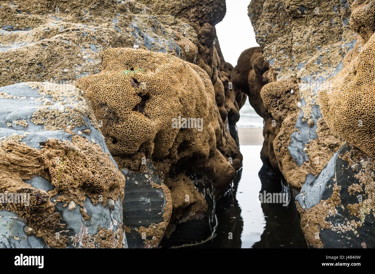 Rocas cubiertas de percebes (muchas cáscaras vacías) en la playa, Gales, Reino Unido Foto de stock