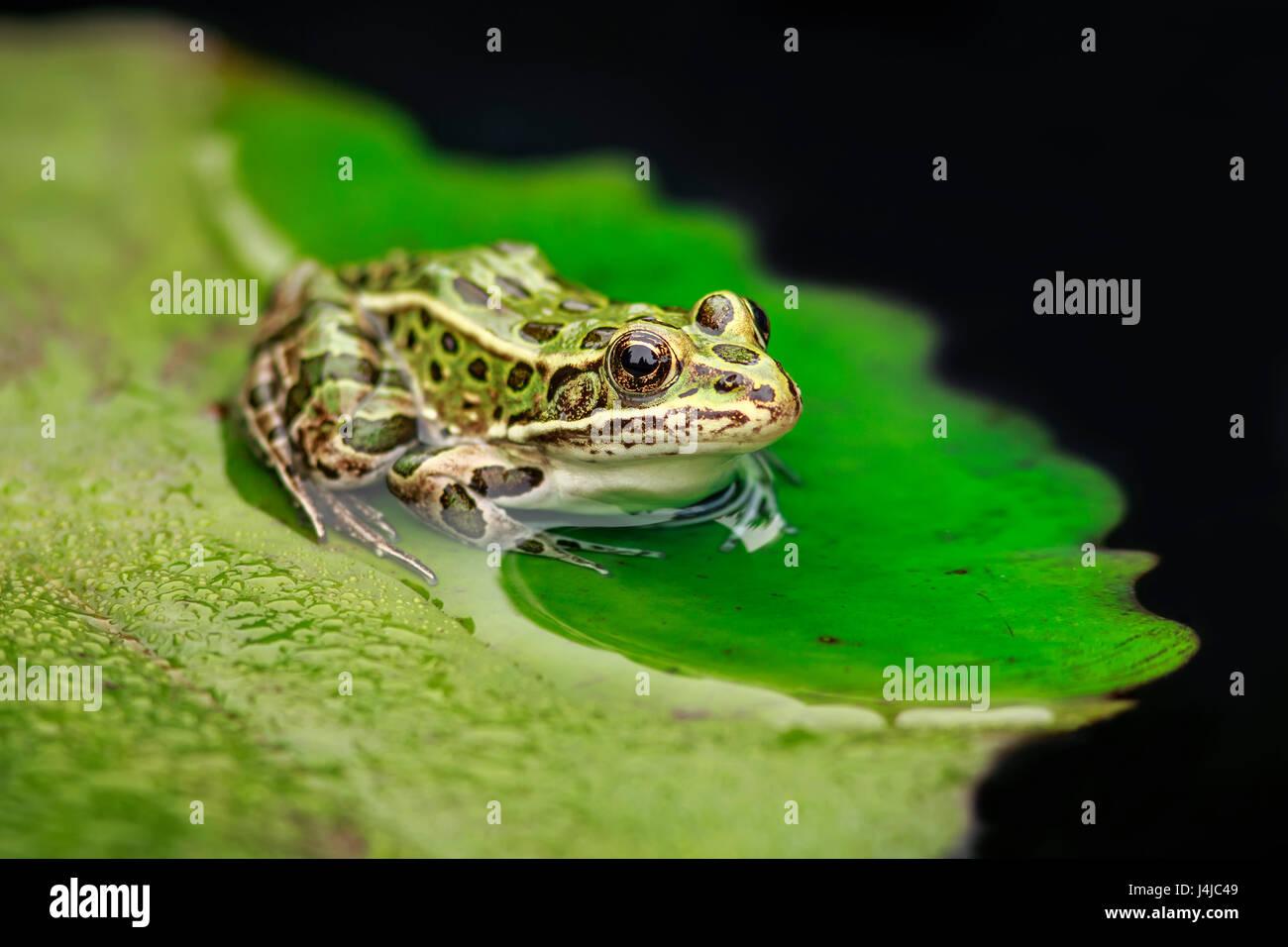 Una rana Leopardo del Norte sobre una hoja de lirio, cerrar Imagen De Stock