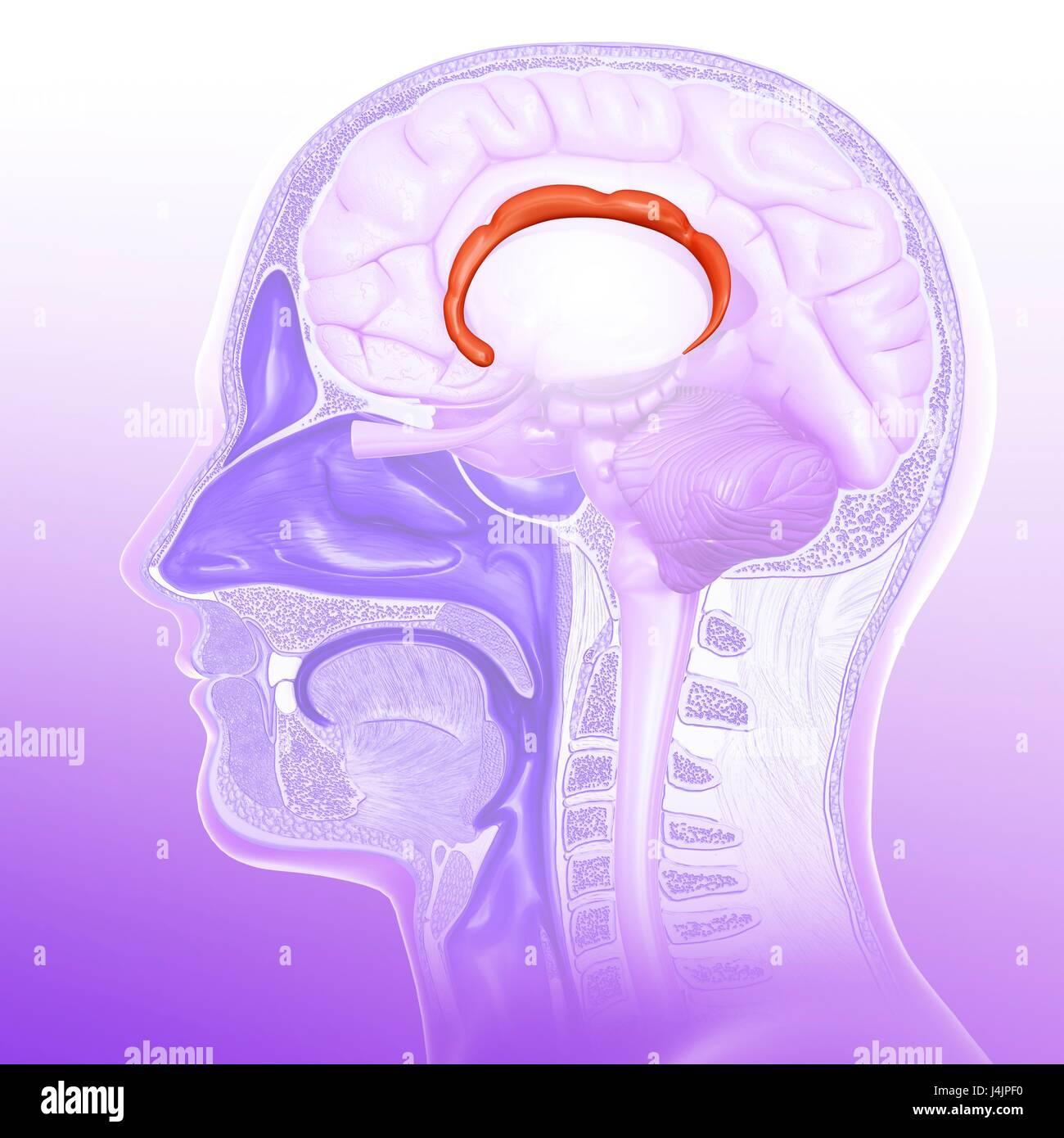 Ilustración de la corteza cingulada girus (flecha) del cerebro humano. Imagen De Stock