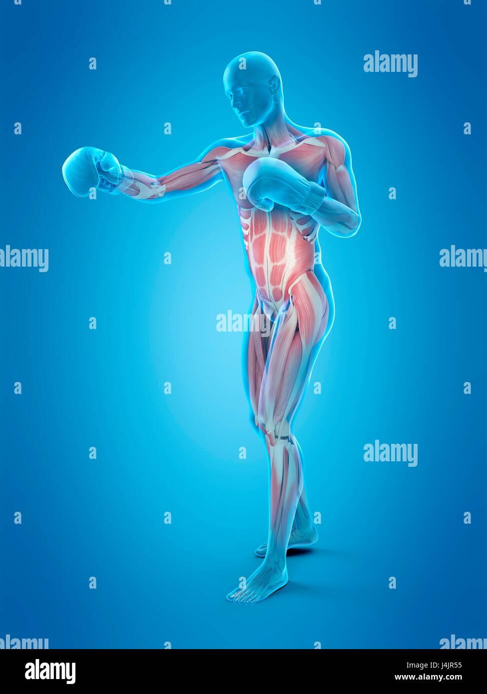 Estructura muscular de un boxeador, ilustración. Imagen De Stock
