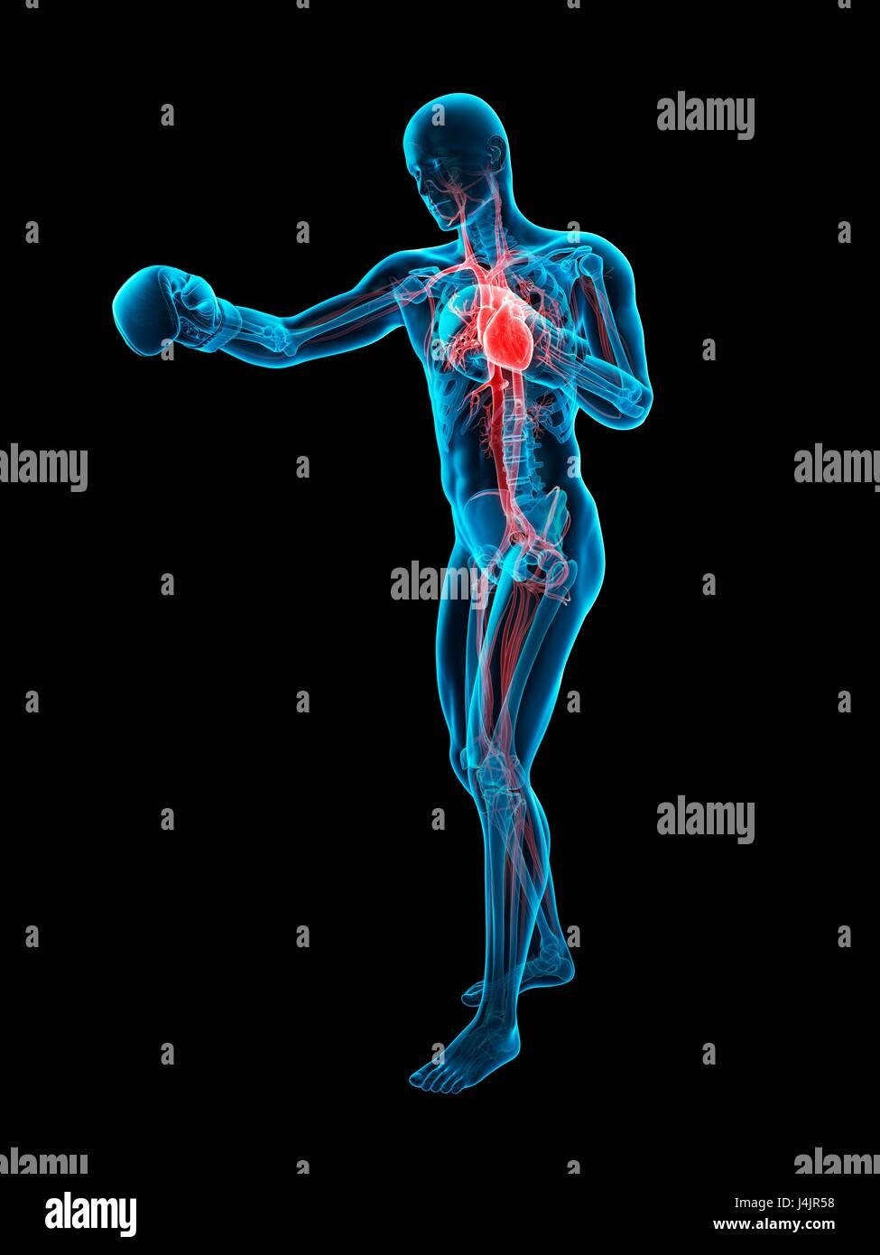 Lujo Anatomía De Un Boxeador Composición - Imágenes de Anatomía ...