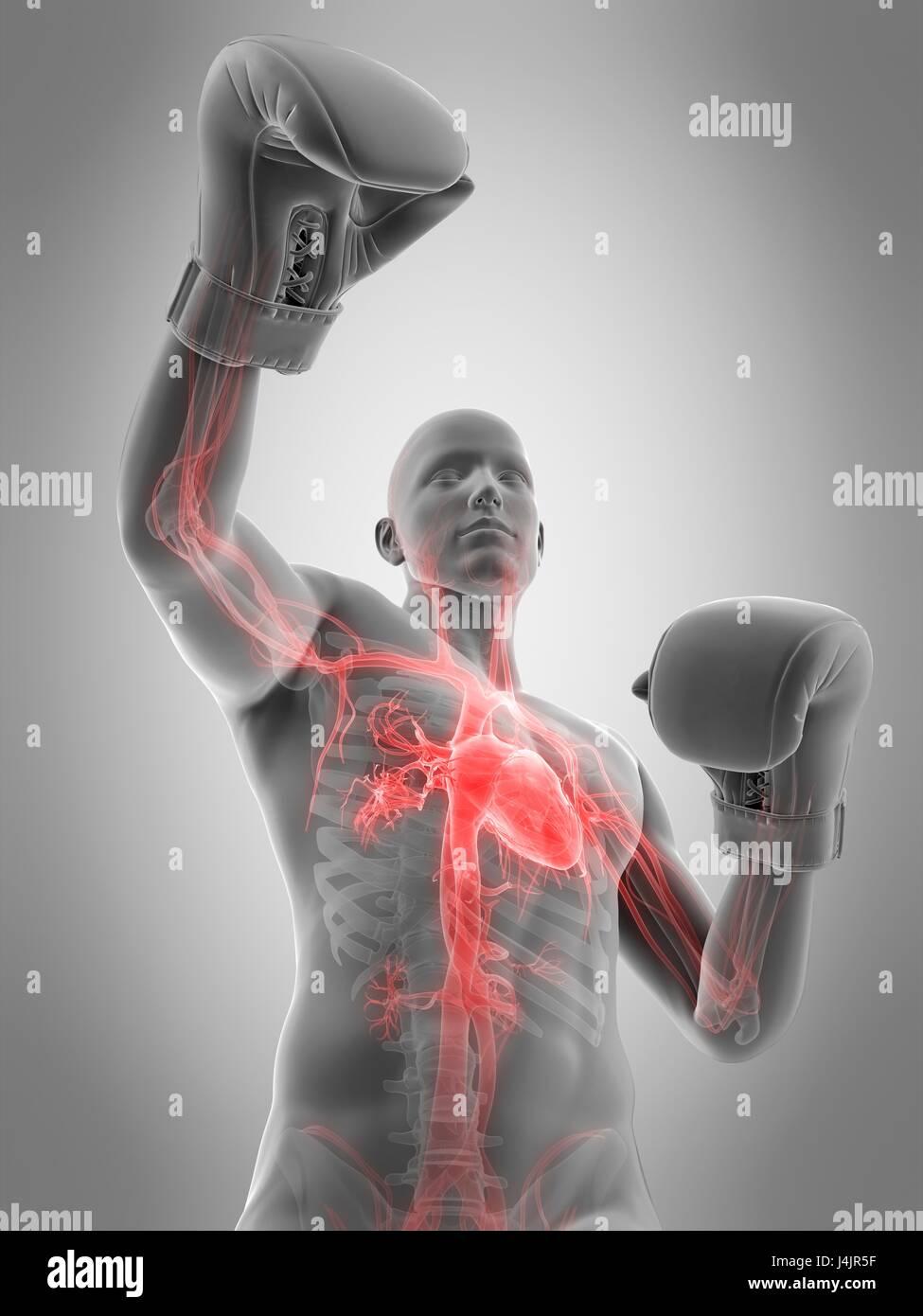 Anatomy Of A Boxer Imágenes De Stock & Anatomy Of A Boxer Fotos De ...