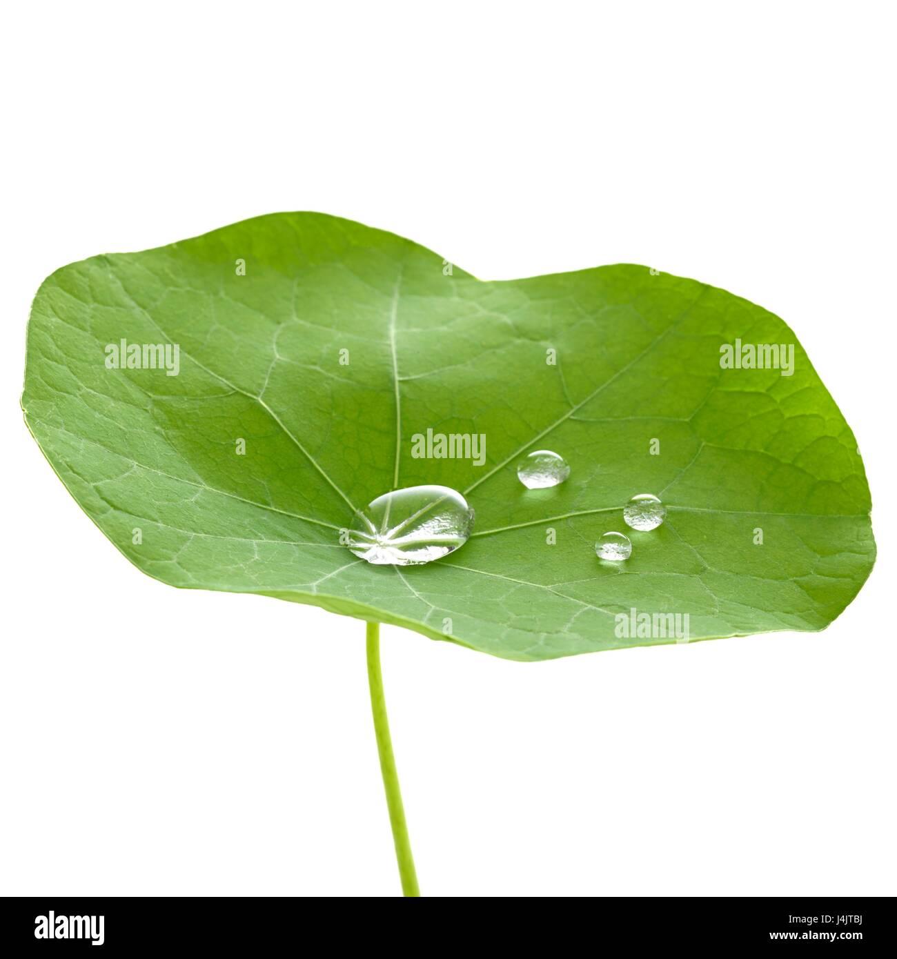 Nasturtium hoja con gotas de agua. Imagen De Stock