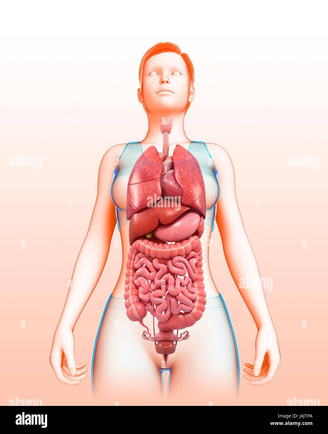Ilustración de los órganos del cuerpo femenino Foto & Imagen De ...