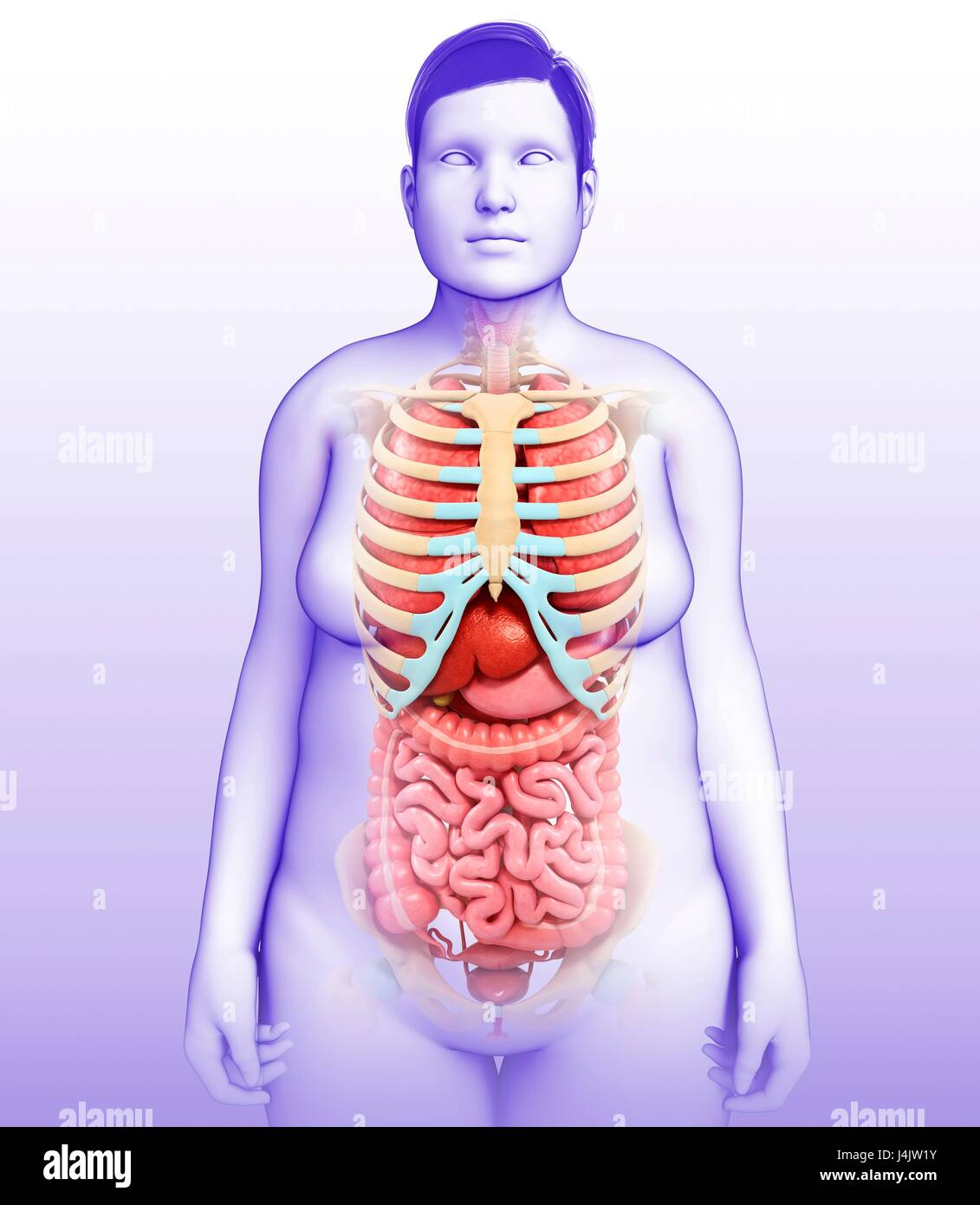 Ilustración de los órganos del cuerpo femenino y el esqueleto Foto ...