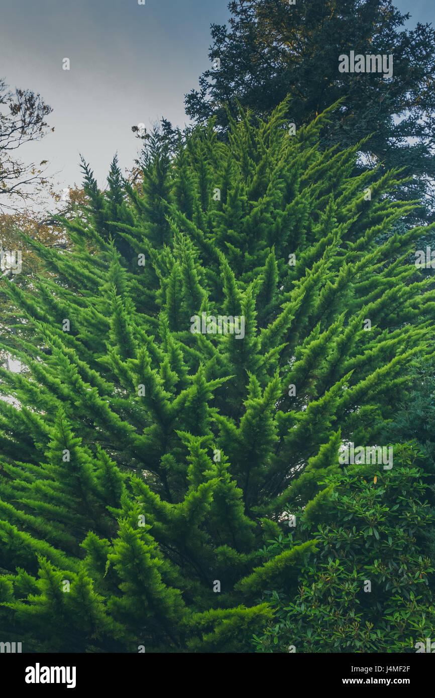 Un hermoso abeto agujas verde completamente cubiertas de tiro desde debajo de un majestuoso aspecto. Rodada en tollymore, Forest Park, Newcastle, Condado de Down, Foto de stock
