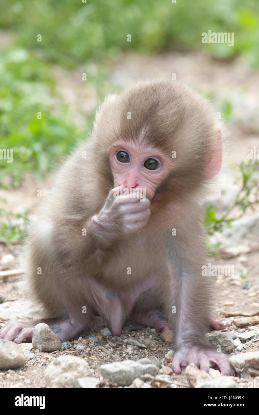 El macaco japonés (Macaca fuscata) sosteniendo la mano a través de la boca del bebé Imagen De Stock