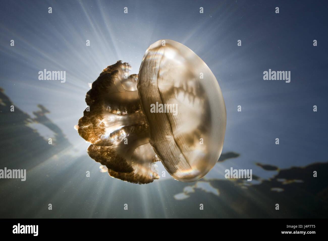 Grabación subacuática, Mastigias-pantalla, medusas Mastigias Papua etpisonii, luz trasera, Imagen De Stock