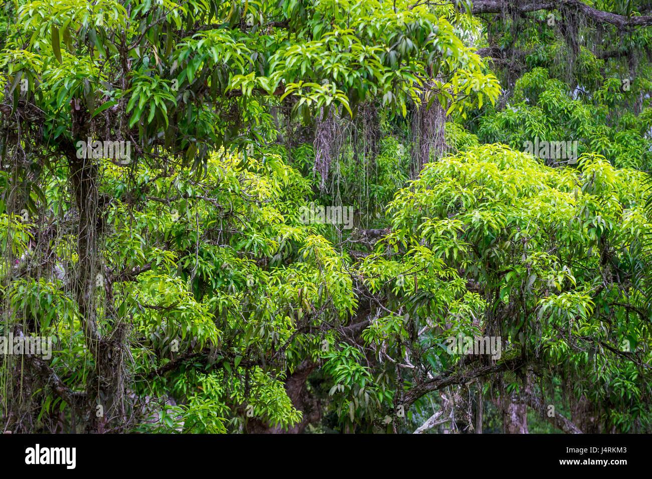 Verde tropical exuberante selva brasileña rainforest antecedentes Imagen De Stock
