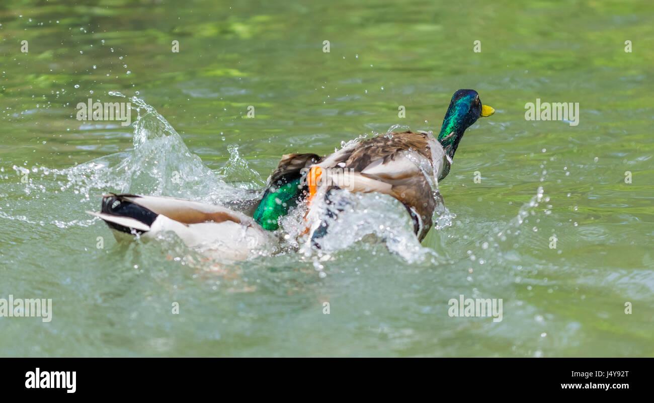 Par de Drake Patos (Anas platyrhynchos) luchando sobre el agua en West Sussex, Inglaterra, Reino Unido. Imagen De Stock