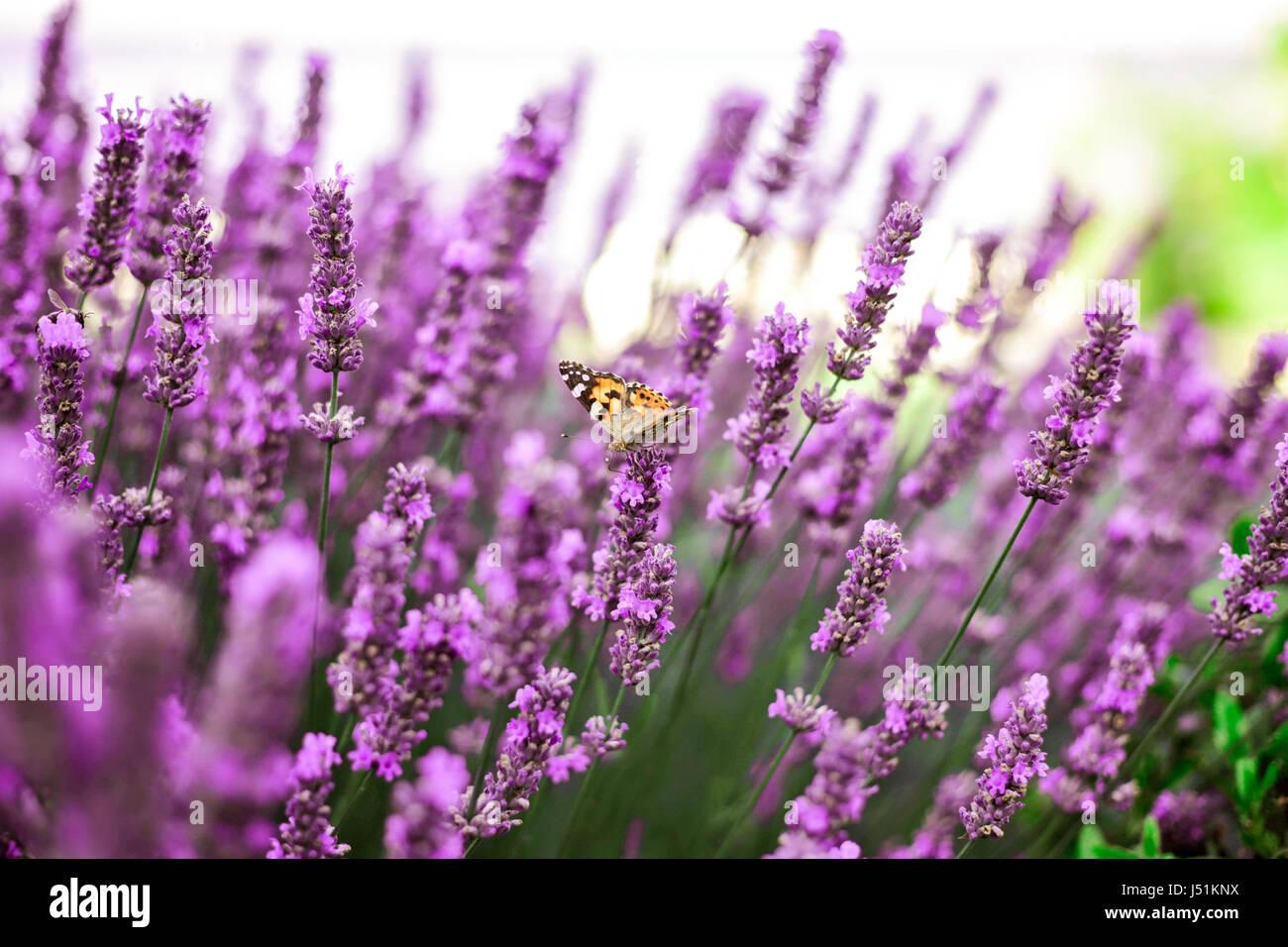 Una mariposa sentada sobre una flor de lavanda en el campo de lavanda, hora de verano, la Crimea. Imagen De Stock