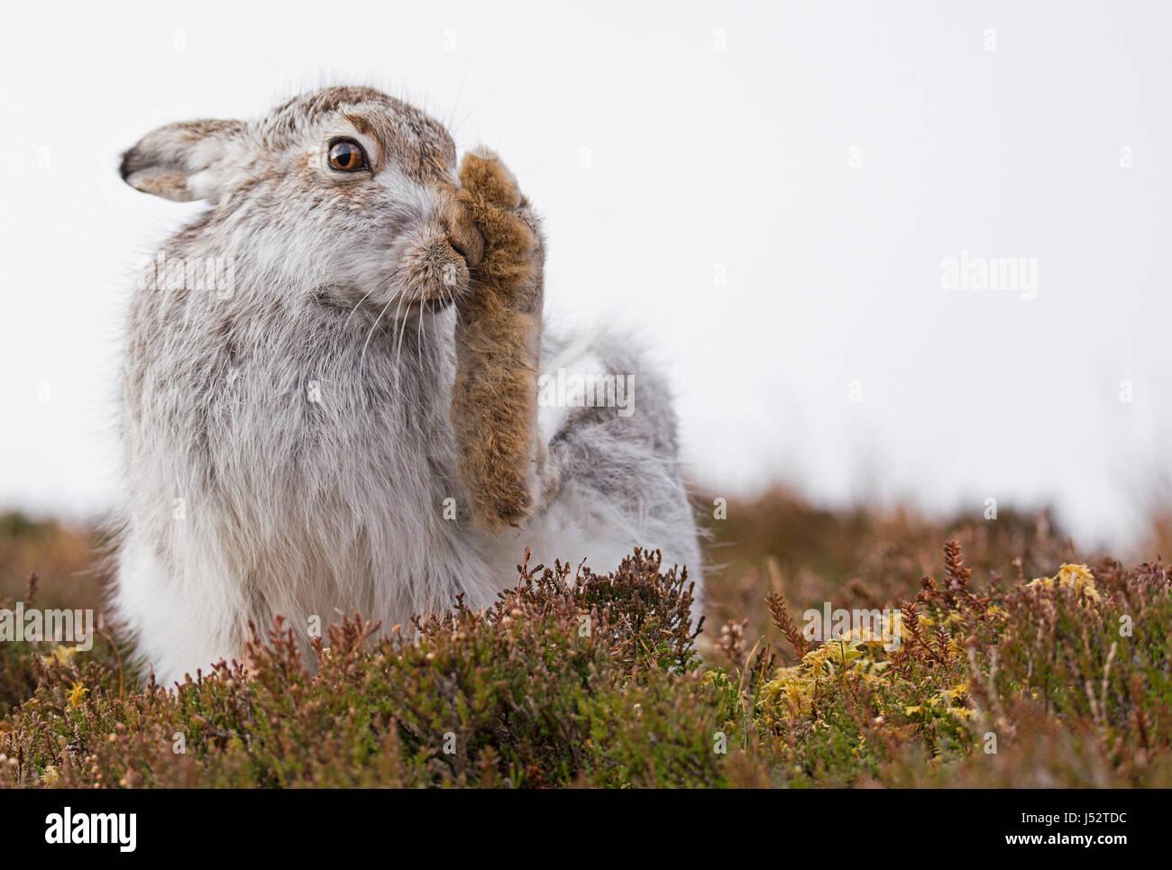 El acicalamiento liebre de montaña (Lepus timidus) Imagen De Stock