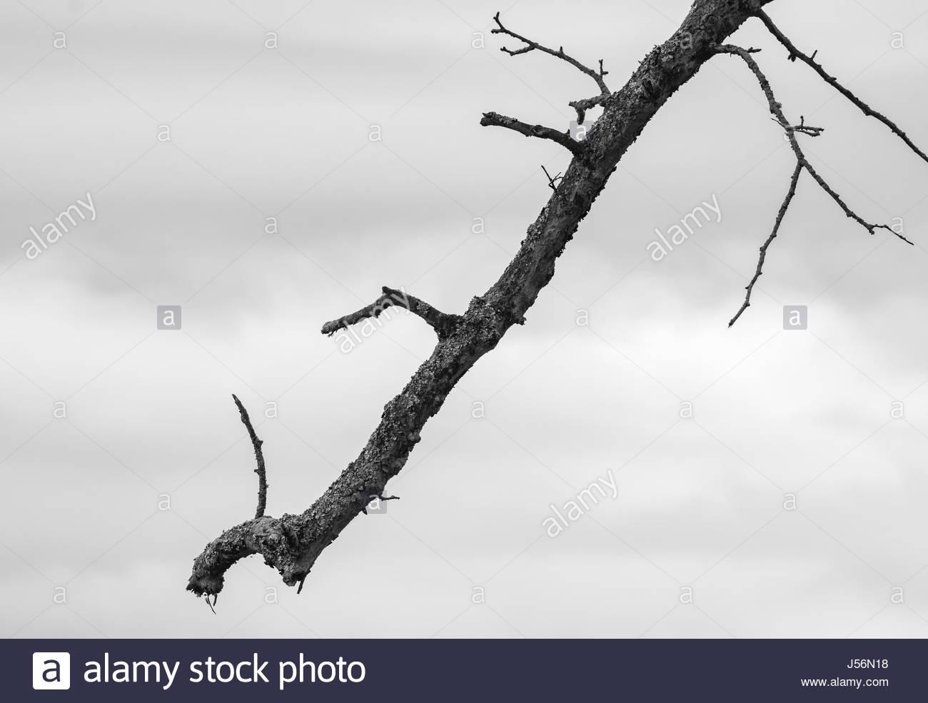 Única rama de árbol colgando con cielo nublado en el fondo. Imagen en blanco y negro. Imagen De Stock