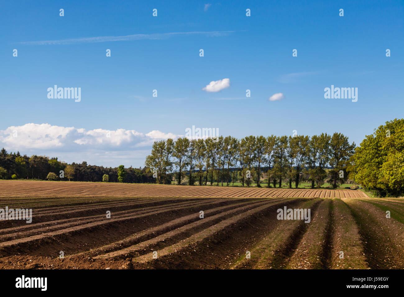 Los surcos de patata Imagen De Stock