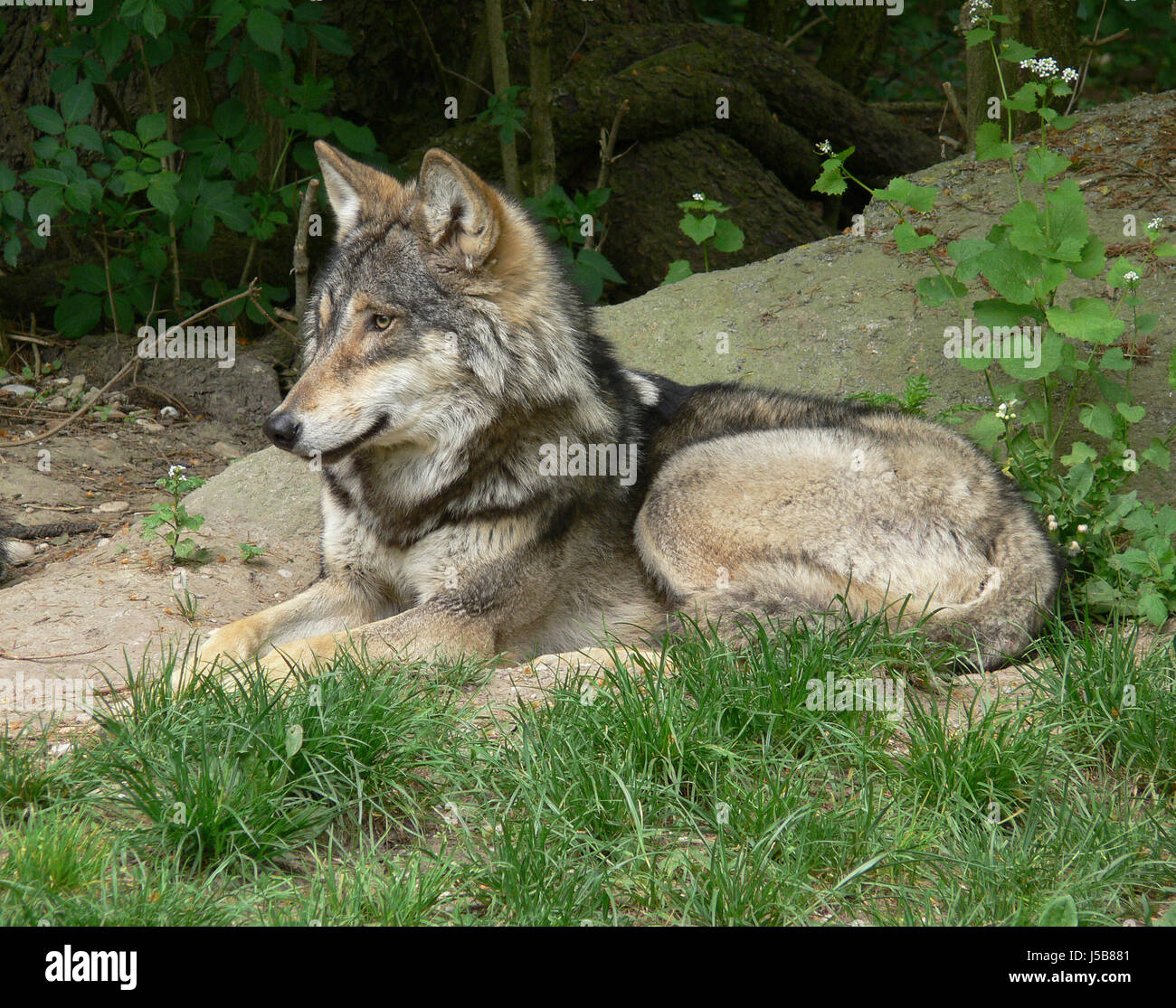 Manada De Lobos Salvajes Hooting Hoot Aullido Lobo Aullando Lobos