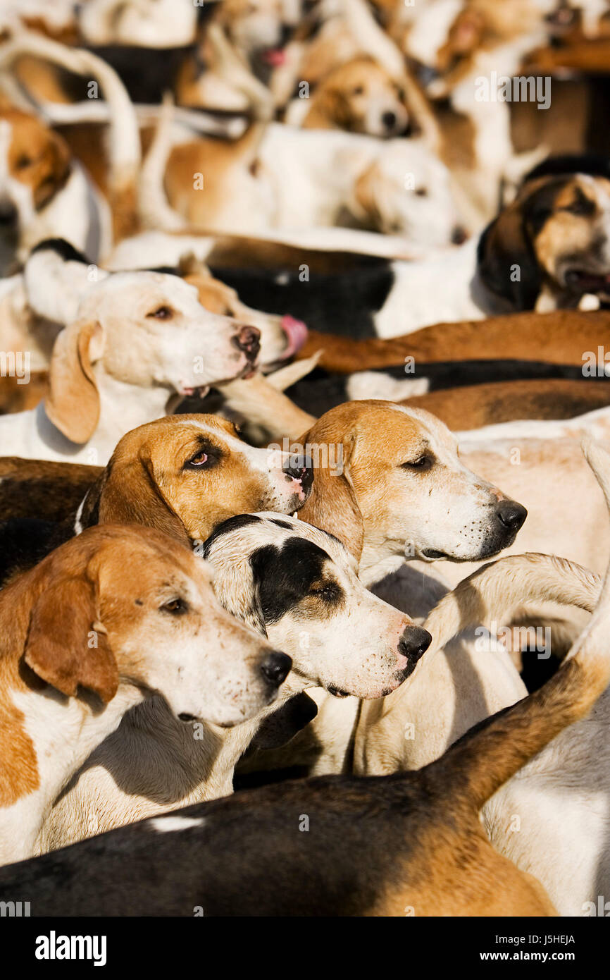 Espere esperando perro animal paciencia misa expectativa turba paciente hound confusión Foto de stock
